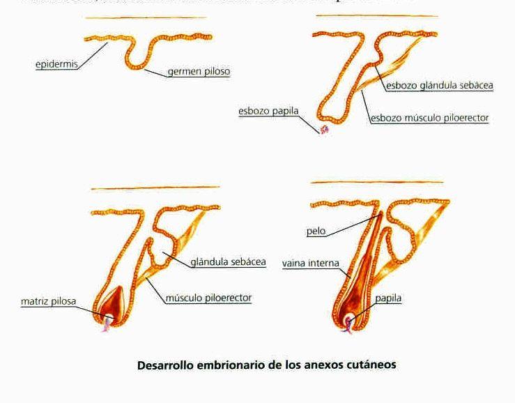 38-desarrollo embrionario de los anexos cutaneos