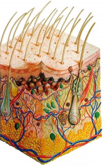La estructura de la piel. Tricología en la peluquería.